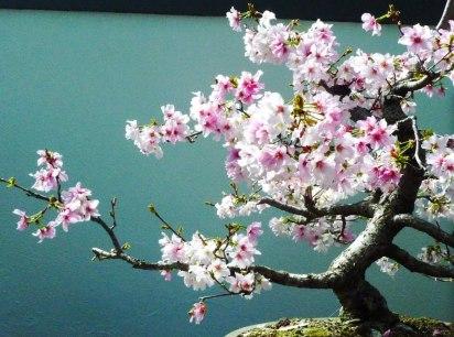 Bonzai en fleurs[1]